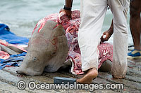 Dugong traditional hunting rights photo