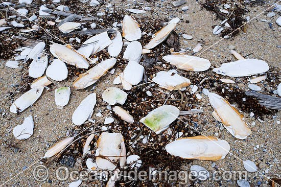 Large numbers of Cuttlebones (back bones of the cuttlefish Sepia species) washed ashore on the high tide. Flinders Island, Tasmania, Australia