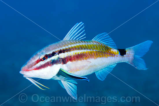 Black-spot Goatfish being cleaned photo