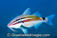 Black-spot Goatfish being cleaned