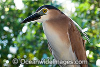 Night Heron Nycticorax caledonicus