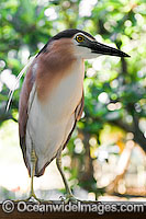Nankeen Heron Nycticorax caledonicus photo
