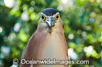 Rufous Night Heron Nycticorax caledonicus photo
