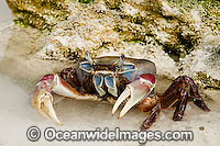 Crab Cardisoma carnifex Cocos Island Photo - Gary Bell