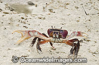Crab Cardisoma carnifex Photo - Gary Bell