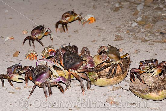 Coconut Crab Attacks Human - #pr-energy