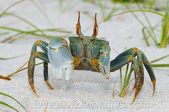 Horn-eyed Ghost Crab (Ocypode ceratophthalma). Also known as Stalk-eyed Ghost Crab. Cocos (Keeling) Islands, Indian Ocean, Australia Photo - Gary Bell