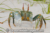 Horn-eyed Ghost Crab Ocypode ceratophthalma Photo - Gary Bell