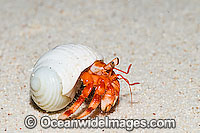 Red Hermit Crab Cocos Island Photo - Gary Bell