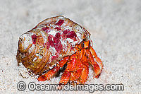 Red Hermit Crab Cocos Keeling Island Photo - Gary Bell