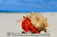 Red Hermit Crab Coenobita perlata Photo - Gary Bell