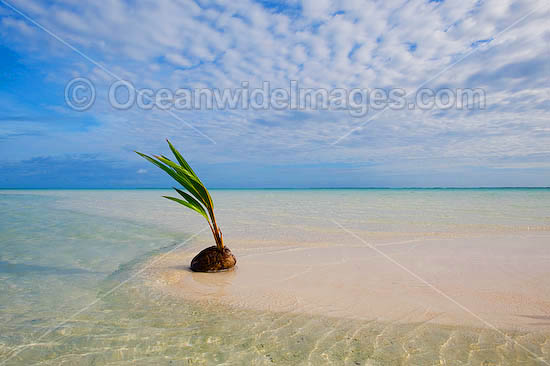 Germinating coconut washed ashore on a tropical beach. Cocos (Keeling) Islands, Indian Ocean, Australia Photo - Gary Bell