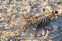 Coral Crayfish shell Cocos Islands Photo - Gary Bell
