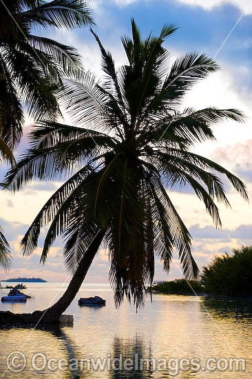 Tropical coconut palms reaching out into lagoon at sunset. Cocos (Keeling) Islands, Indian Ocean, Australia Photo - Gary Bell