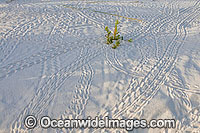 Red Hermit Crab tracks in sand Photo - Gary Bell