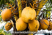 Coconut Palm Fruit Photo - Gary Bell