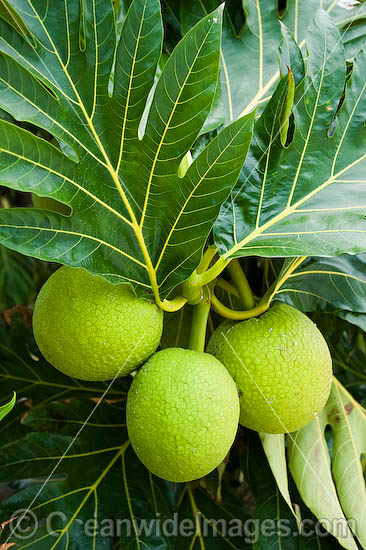 Breadfruit (Artocarpus altilis) - cultivated on the Cocos (Keeling) Islands. Breadfruit is a species of flowering tree that is native to the Malay Peninsula and western Pacific Islands. It is a member of the mulberry family, Moraceaeis. Photo - Gary Bell