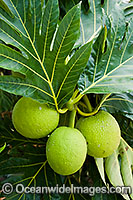 Breadfruit Photo - Gary Bell