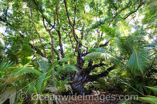 Ballnut Tree (Calophyllum Inophyllum). Native from East Africa, southern India to Malaysia and Australia. This image was taken at Cocos (Keeling) Islands, Indian Ocean, Australia Photo - Gary Bell