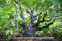 Ballnut tree Calophyllum Inophyllum Photo - Gary Bell