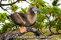 Red-footed Booby Cocos Islands Photo - Gary Bell