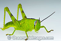 Giant Grasshopper Valanga irregularis Photo - Gary Bell