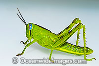 Giant Grasshopper Photo - Gary Bell