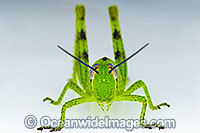 Australian Giant Grasshopper Photo - Gary Bell