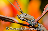 Great Brown Phasma Stick Insect Photo - Gary Bell