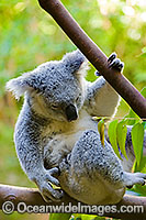 Koala Phascolarctos cinereus Photo - Gary Bell