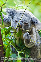 Koala eating Photo - Gary Bell