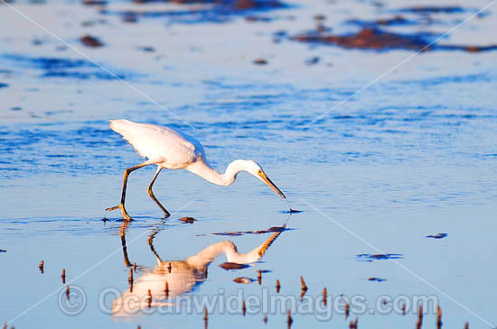 Intermediate Egret (Ardea intermedia) - fishing in tidal flats. Found in freshwater wetlands, billabongs and swamps throughout Australia Photo - Gary Bell