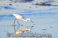 Intermediate Egret Ardea intermedia photo