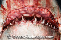 Porbeagle Shark jaw Photo - Andy Murch