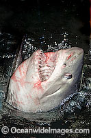 Porbeagle Shark head Photo - Andy Murch