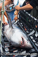 Porbeagle Shark Research Photo - Andy Murch