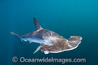 Smooth Hammerhead Shark Photo - Andy Murch