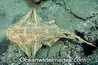 Common Angel Shark Photo - Andy Murch