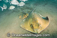 Common Stingray Photo - Andy Murch