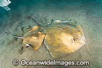 Common Stingray Dasyatis pastinaca Photo - Andy Murch