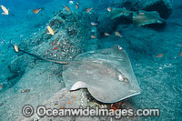Roughtail Stingray Photo - Andy Murch