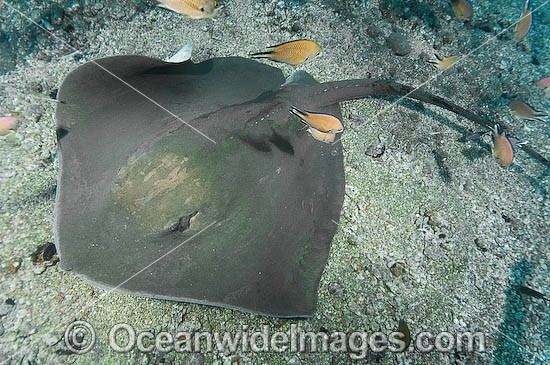 Roughtail Stingray (Dasyatis centroura). A large ray that lives on both sides of the North Atlantic. Los Gigantes, Tenerife, Canary Islands, Spain, off the northwest coast of mainland Africa Photo - Andy Murch