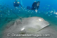 Roughtail Stingray Dasyatis centroura Photo - Andy Murch