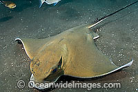 Common Eagle Ray Myliobatis aquila Photo - Andy Murch