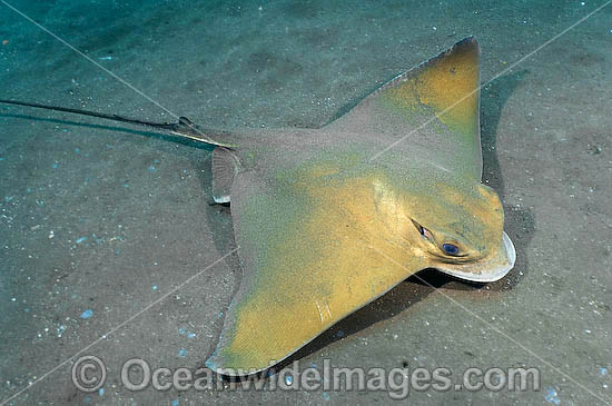 Common Eagle Ray Myliobatis aquila photo
