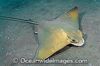 Common Eagle Ray Myliobatis aquila