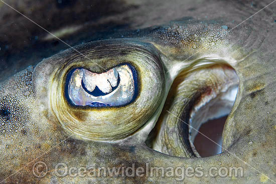 Detail of the eye and spiracle of a Banded Guitarfish (Zapteryx exasperata). Cabo Pulmo, Baja, Sea of Cortez, Mexico