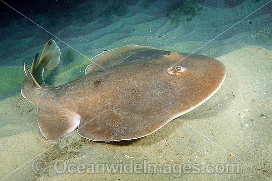 Giant Electric Ray (Narcine entemedor). Also known as Cortez Electric Ray. Sea of Cortez, San Jose Del Cabo, Baja, Mexico