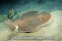 Giant Electric Ray Narcine entemedor Photo - Andy Murch