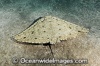 Spiny Butterfly Ray Gymnura altavela photo